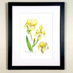 Yellow Bearded Iris Print