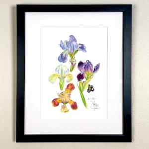 Four colourful Miniature Iris Print