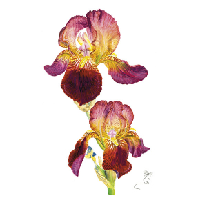 Velvet red & yellow bearded Iris