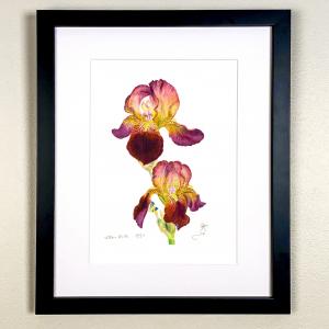 Velvet red & yellow bearded Iris Print