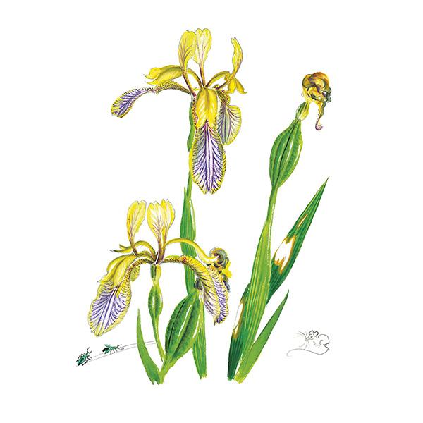 Minature Blue & Yellow Iris Card