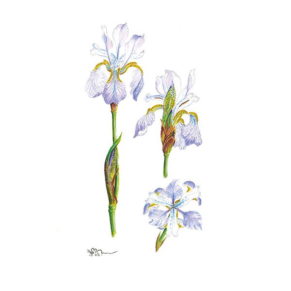 Pale Blue Miniature Iris Print