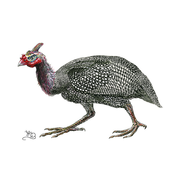 Guinea Fowl Print