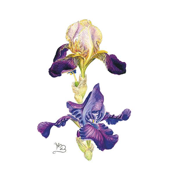 urple & Mauve bearded Iris Print